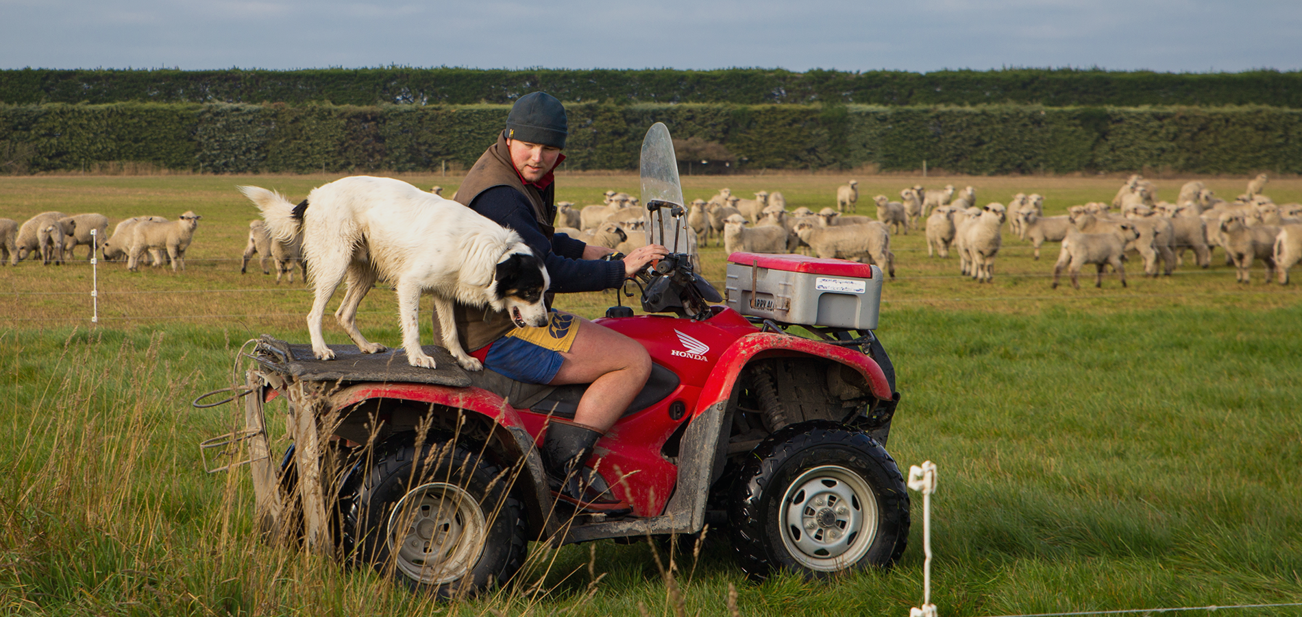 A farmer and his sheep dog shift break fencing for sheep using a quad bike to get around the farm on a quad