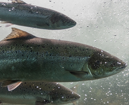 Three salmon swimming in clear water